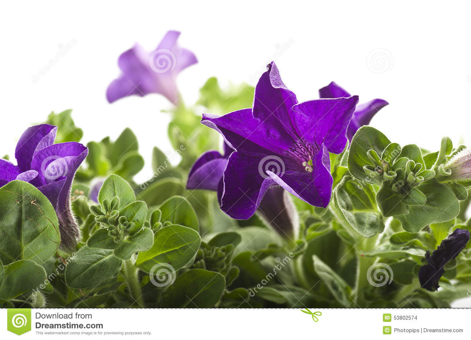 Fiori Color Viola.Fiore Di Colore Viola Fotografia Stock Immagine Di Giardino