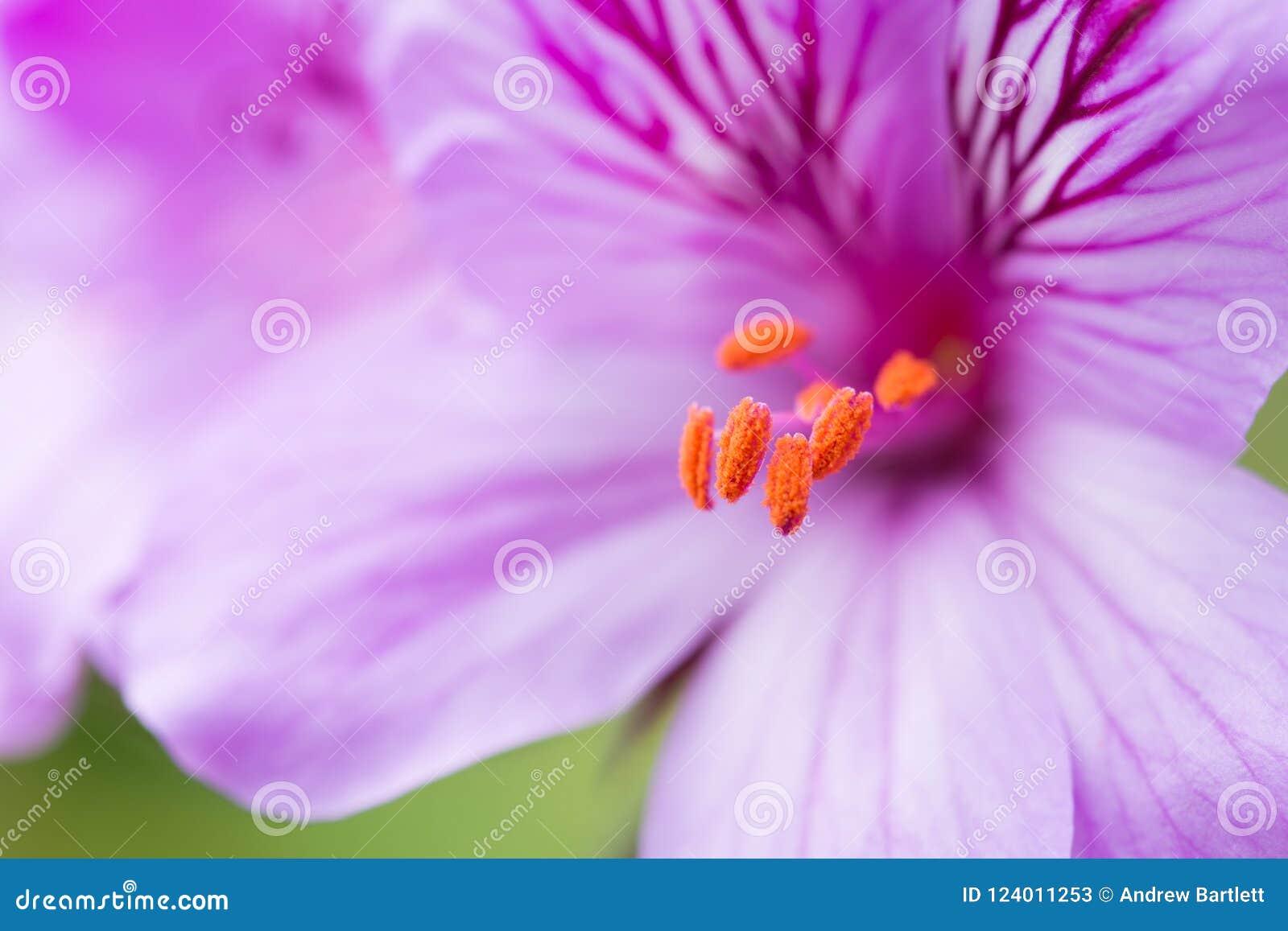 Fiore di Cucullatum del pelargonium in fioritura