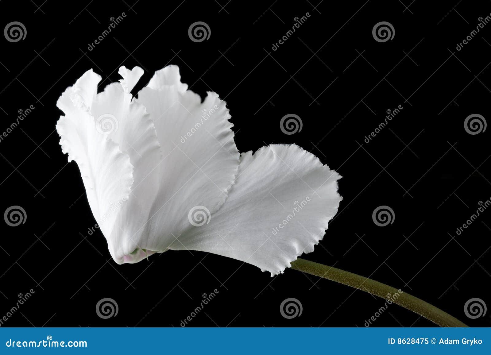 Fiore di Cyclamen