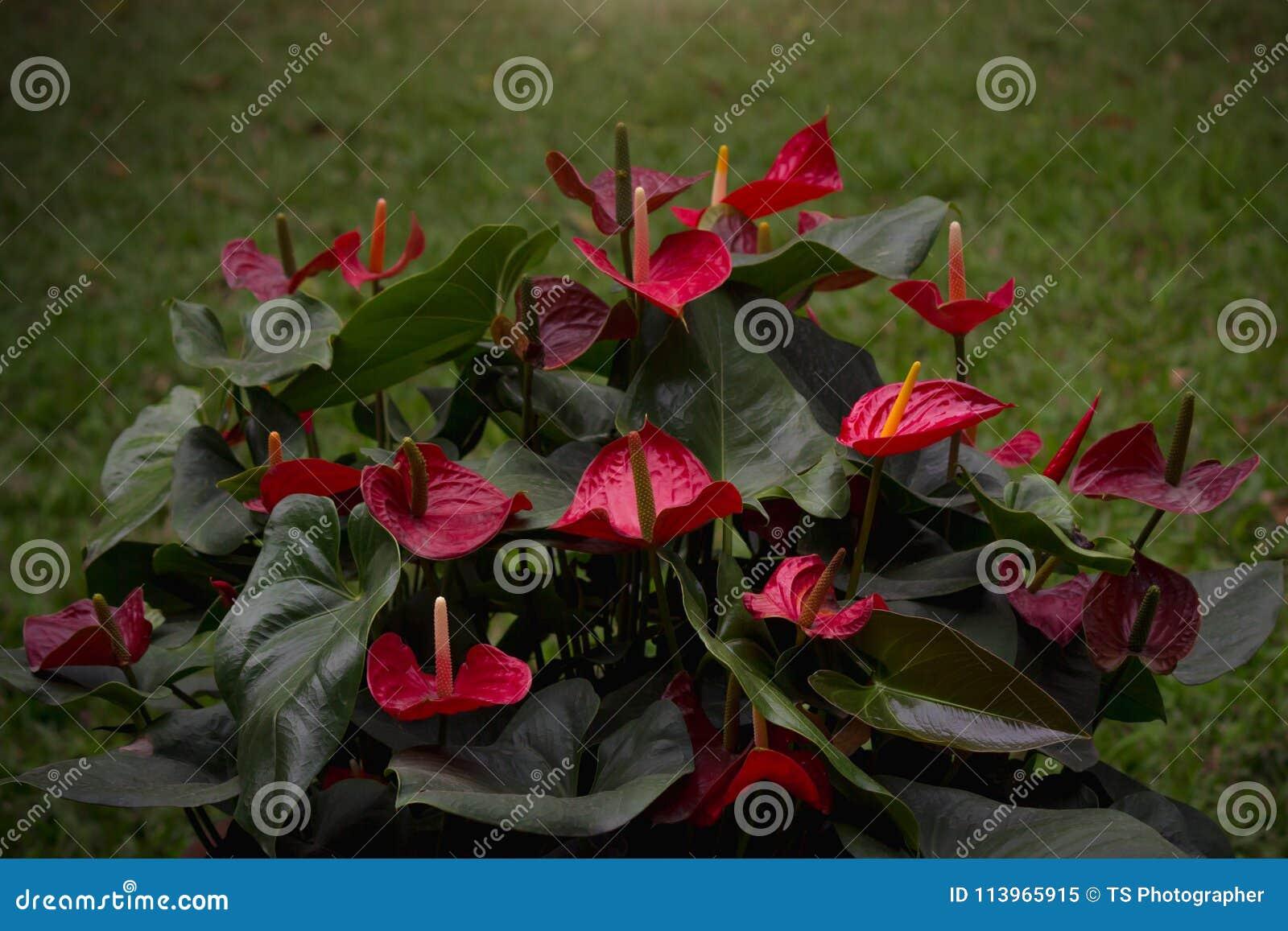Fiore di fenicottero o anturio rosso della treccia