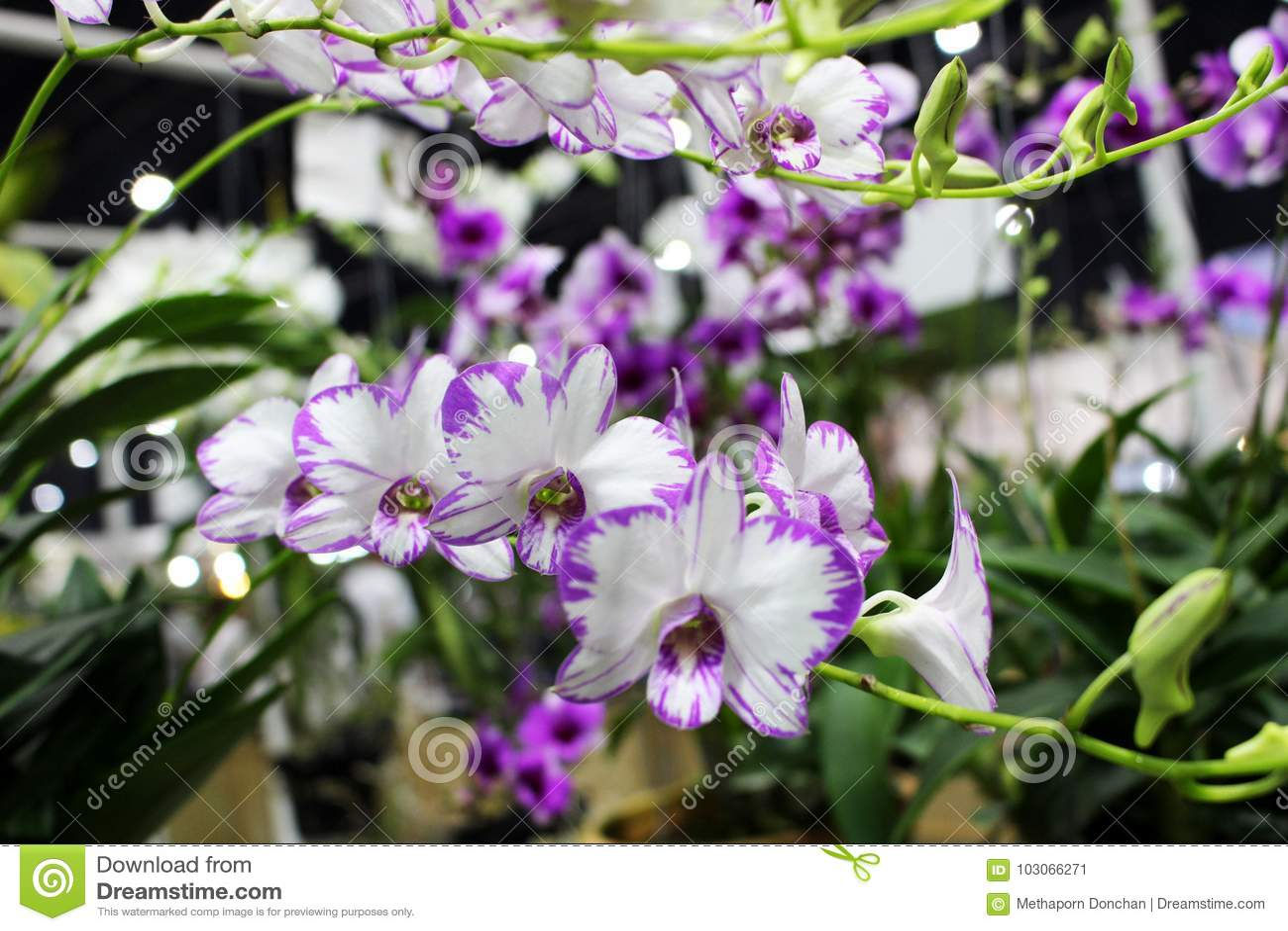 fioritura delle orchidee