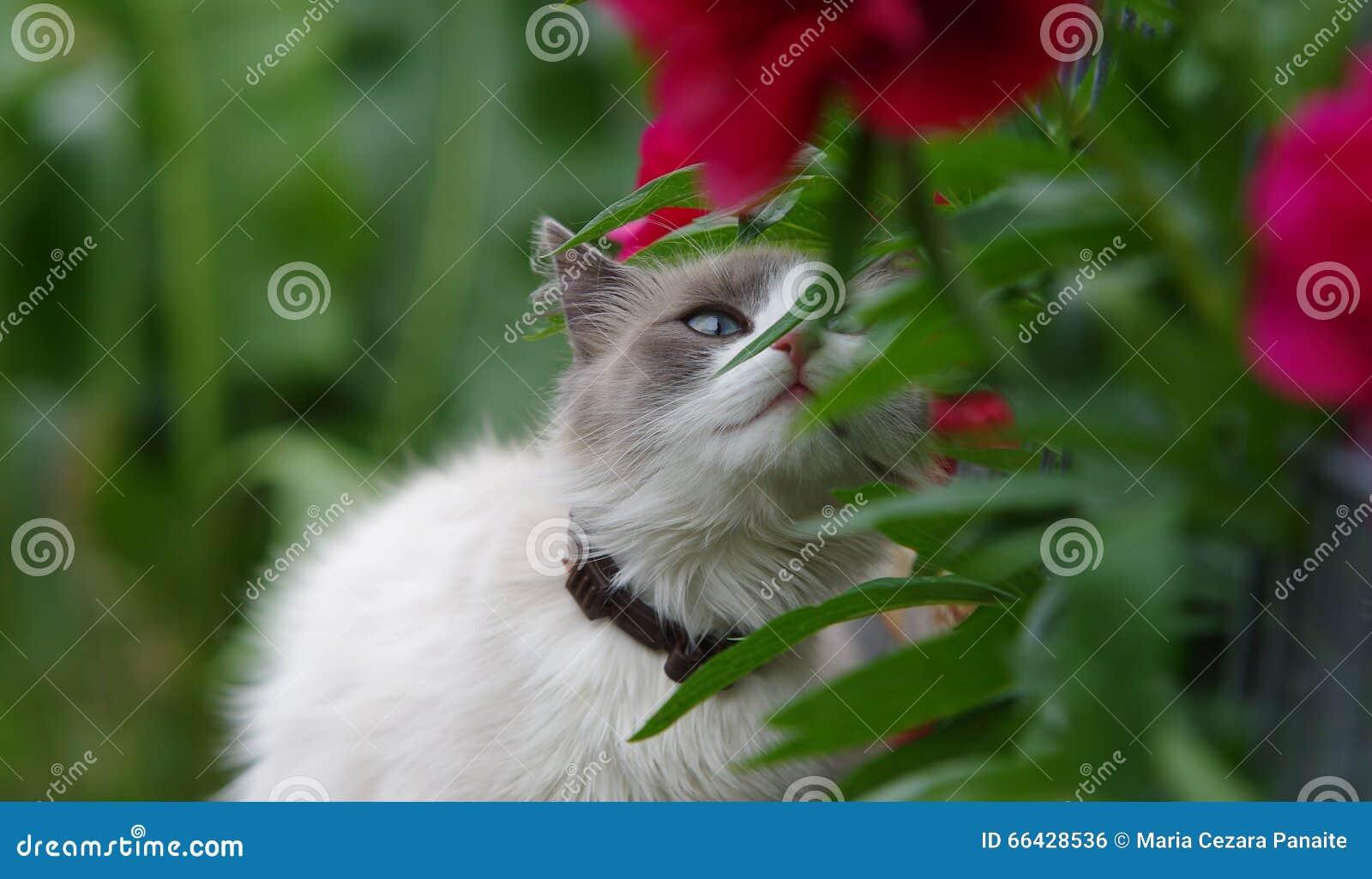 Fiore di fiuto del gatto di Ragdoll