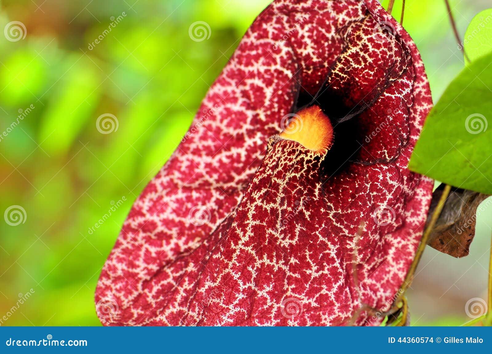Fiore di gigantea di Aristolochia, Florida