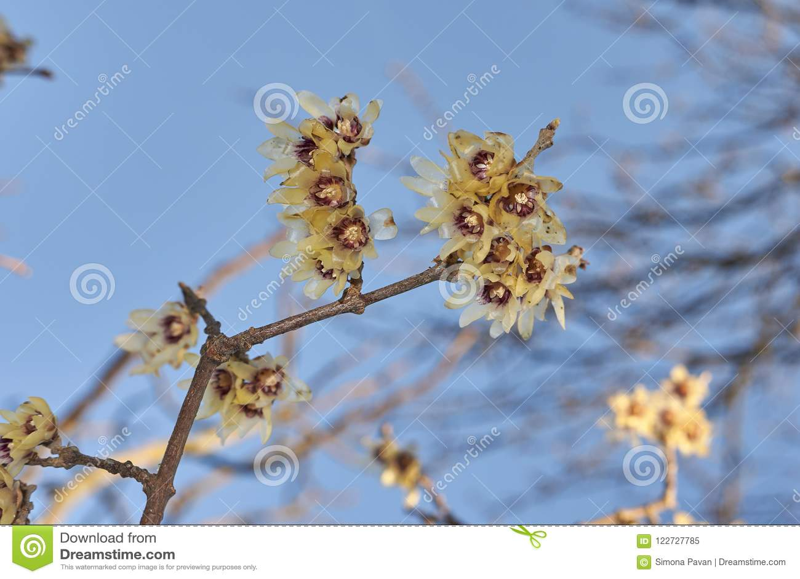 Calicanto Fiore D Inverno fiore di inverno della pianta del praecox del calycanthus