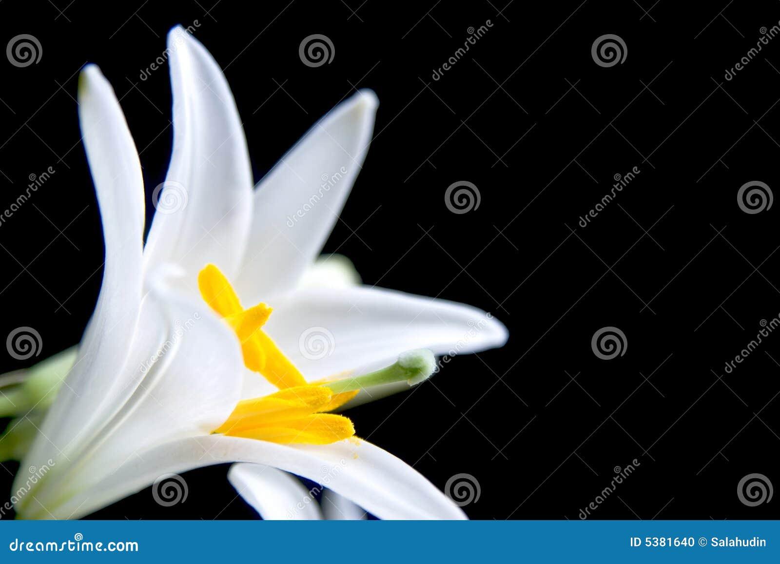 Fiore di Lilly