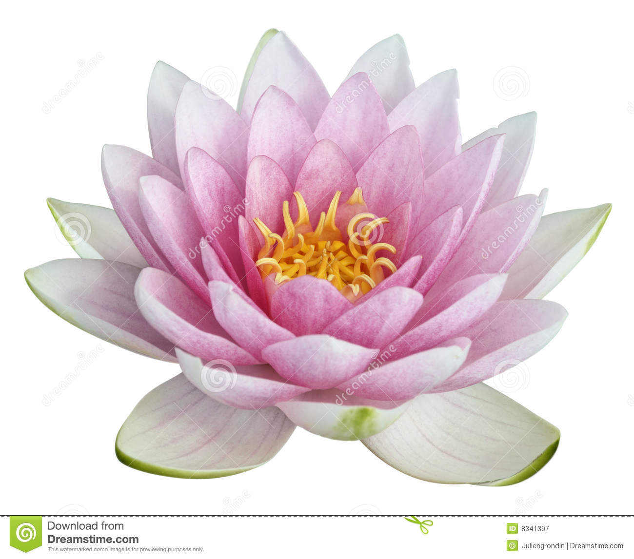 pink water lily clipart