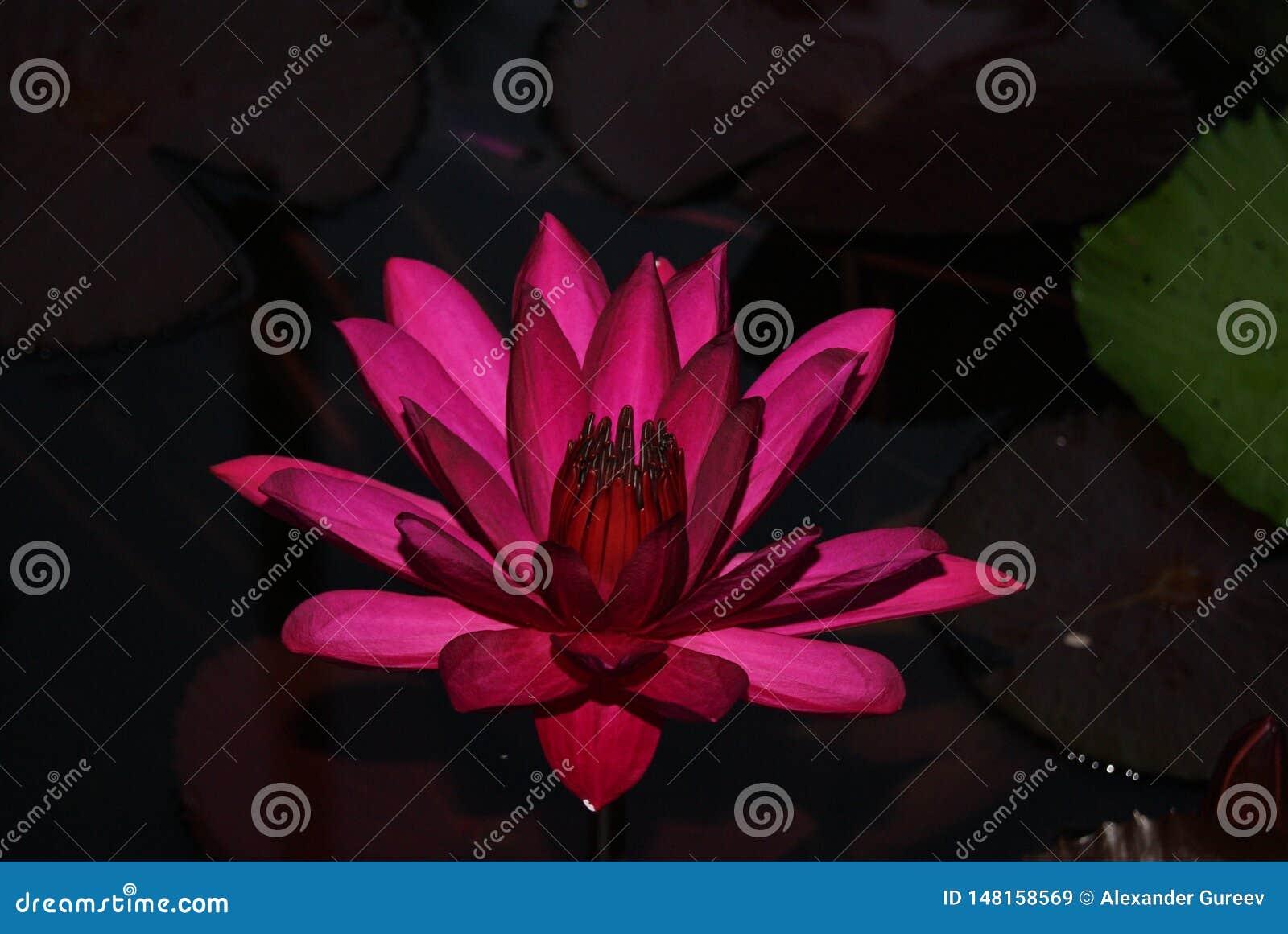 Fiore di Lotus porpora circondato dalle foglie