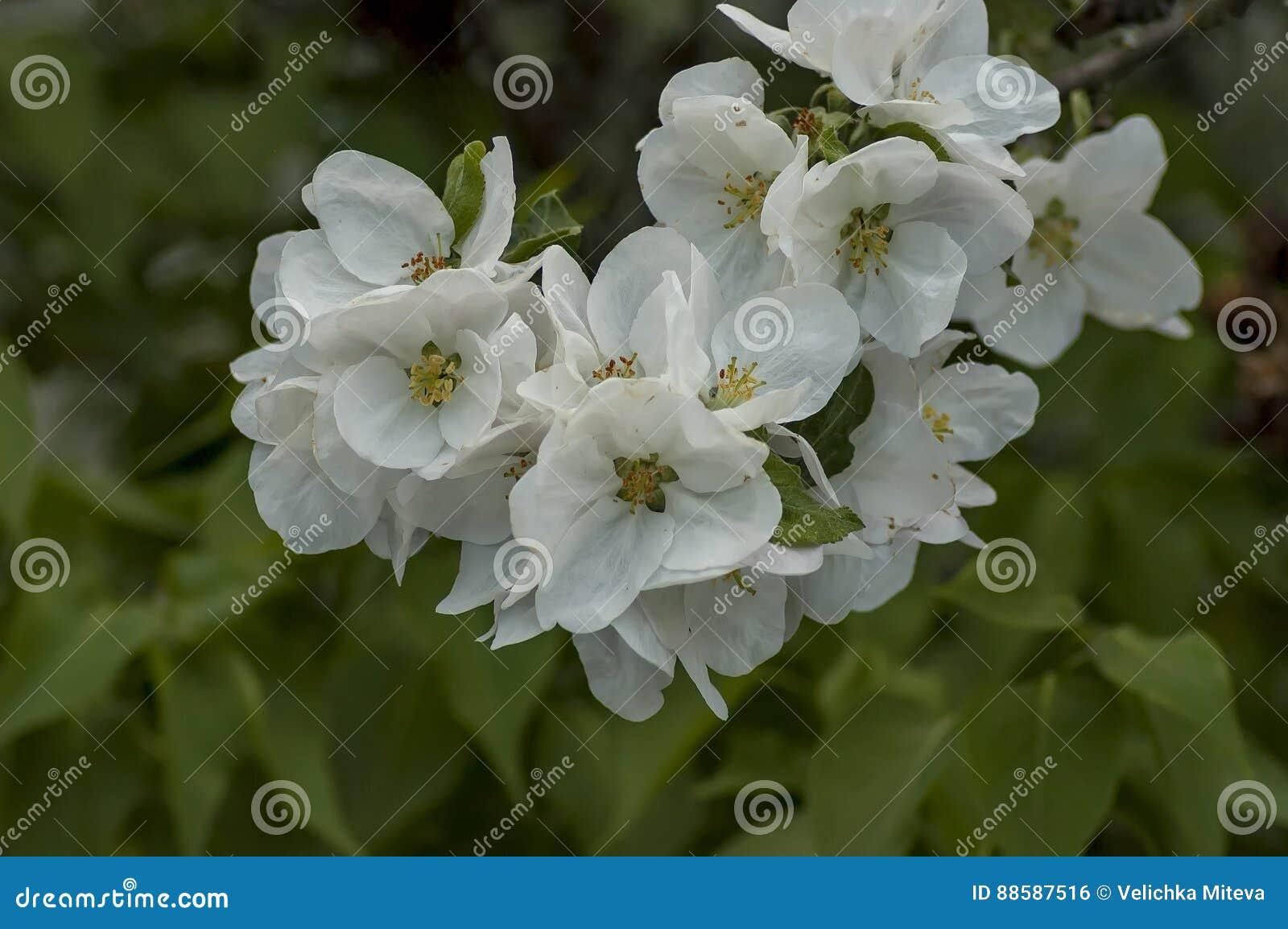 Fiori Da Giardino In Montagna fiore di melo a primavera in giardino, montagna di rila