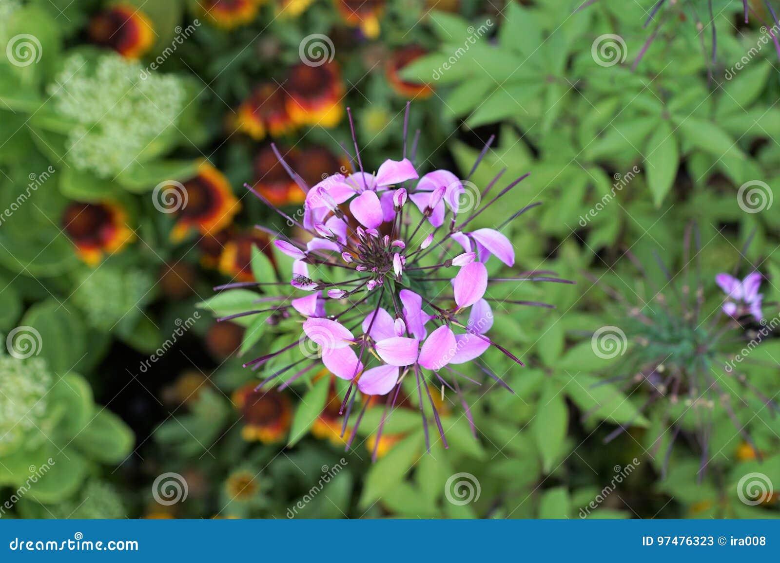 Fiore di ragno nel giardino