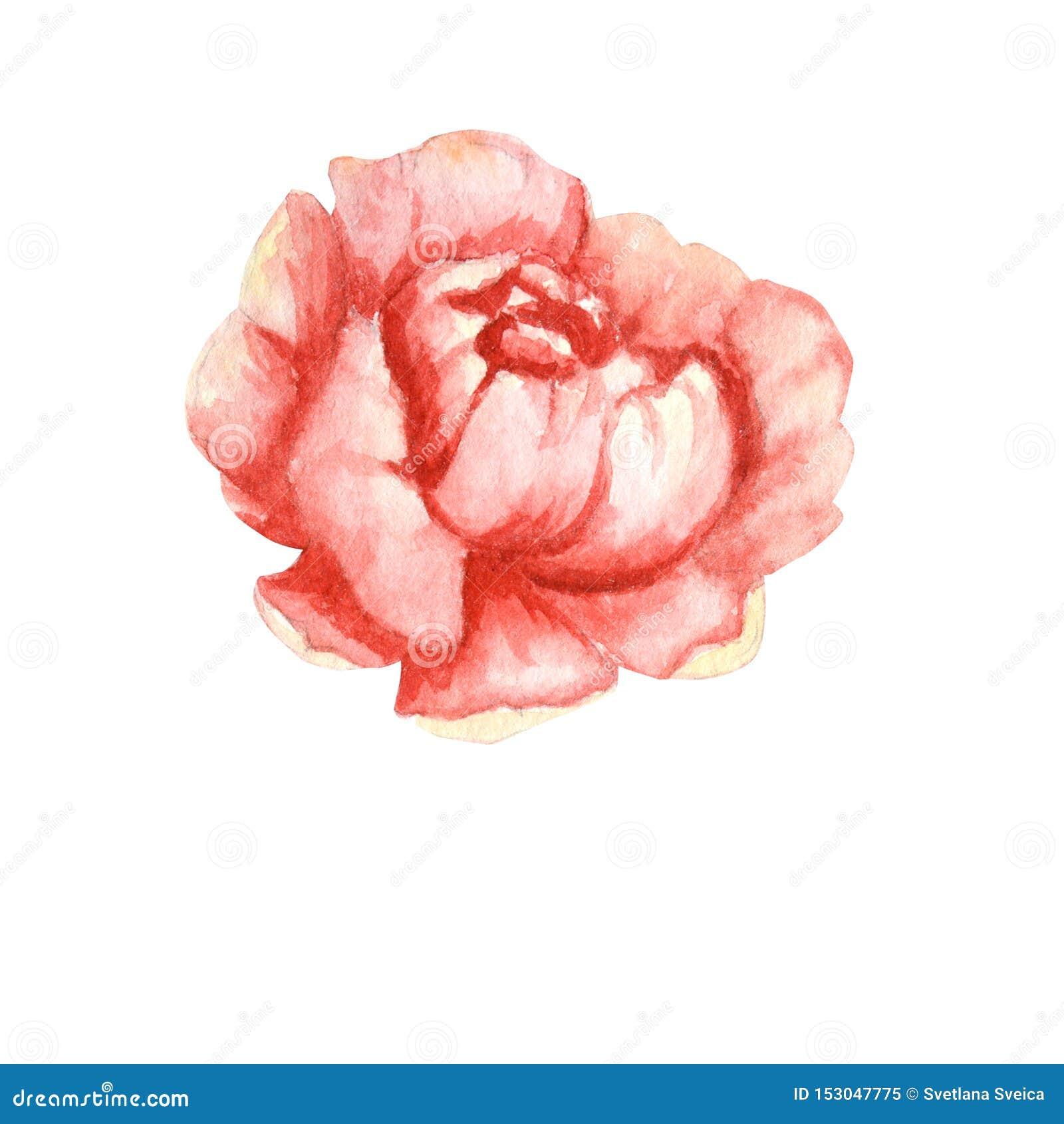 Fiore di rosa della peonia del Wildflower in uno stile dell acquerello isolato Wildflower dell acquerello per fondo, la struttura