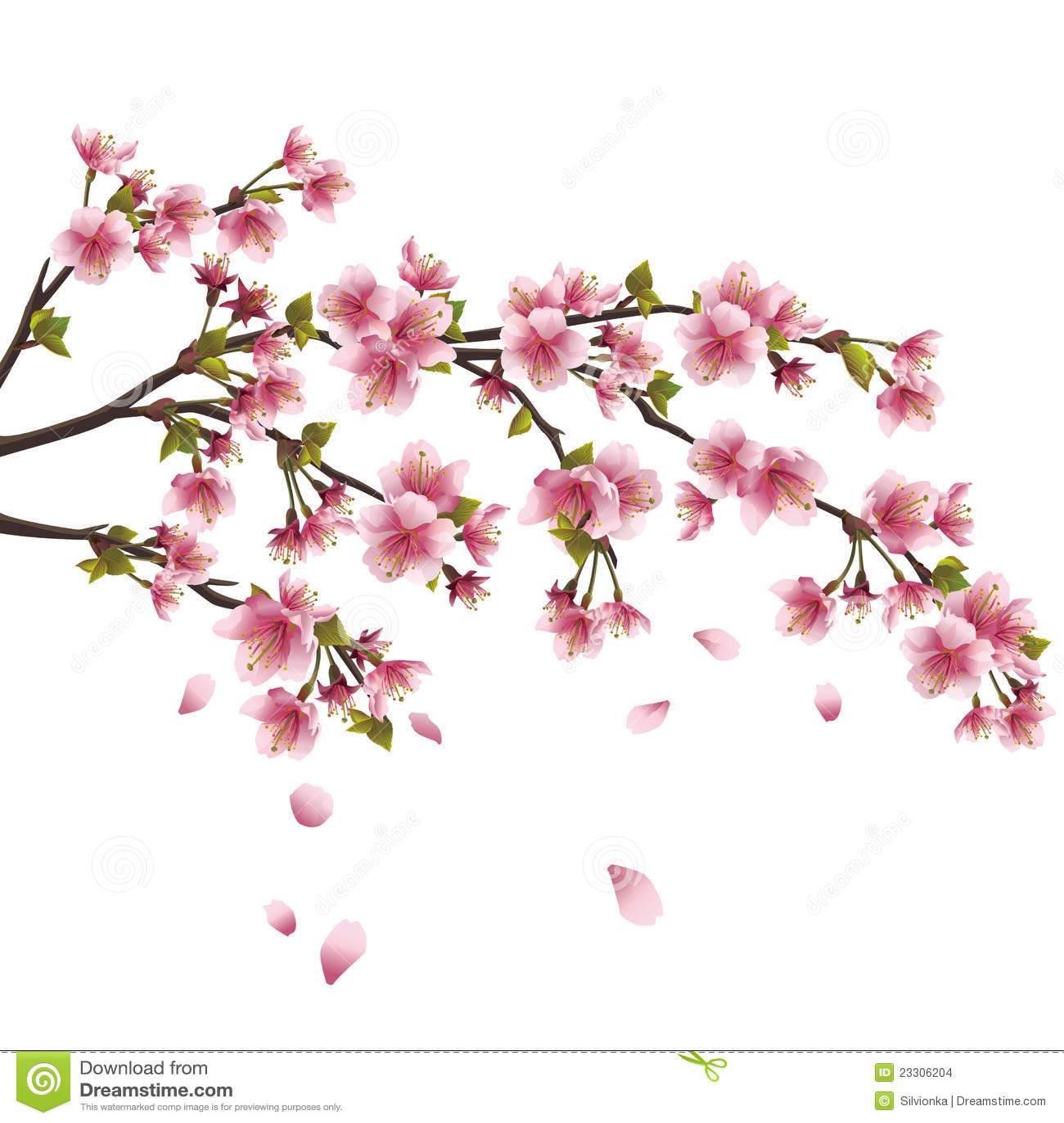 Fiore di sakura ciliegio giapponese isolato for Sakura albero