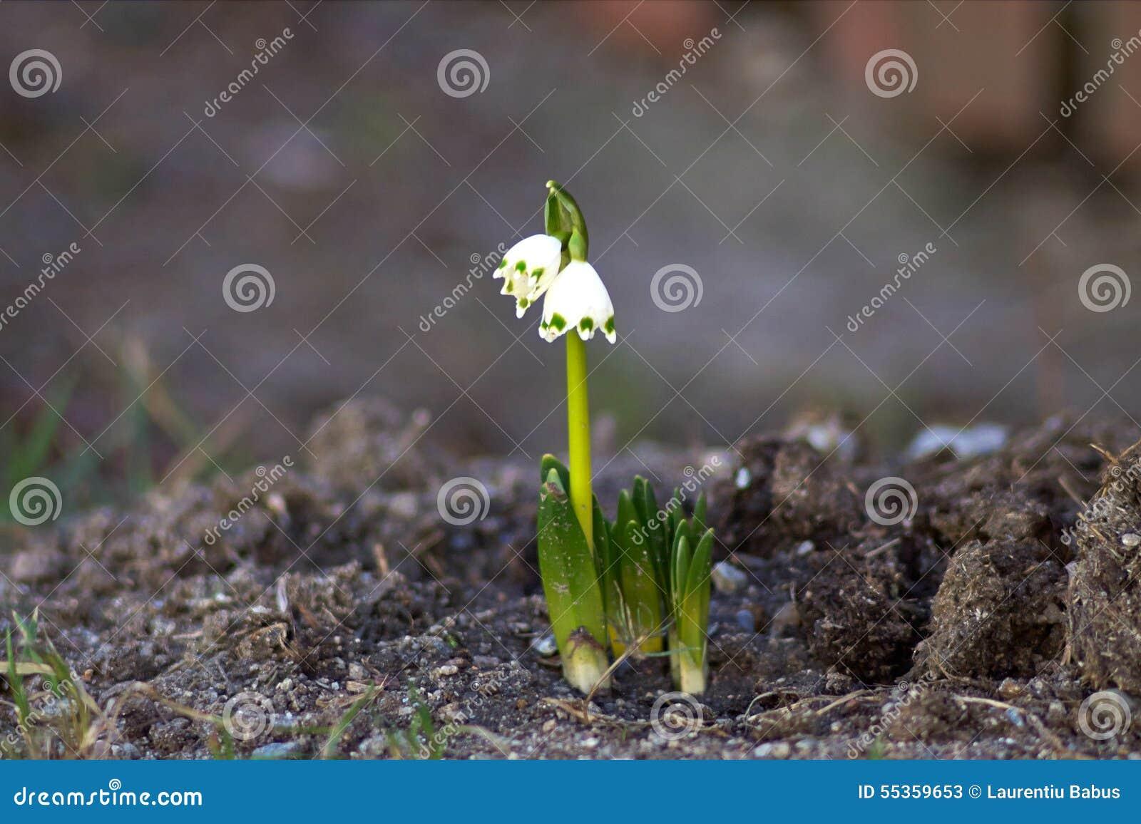 Fiore di Snowdrop