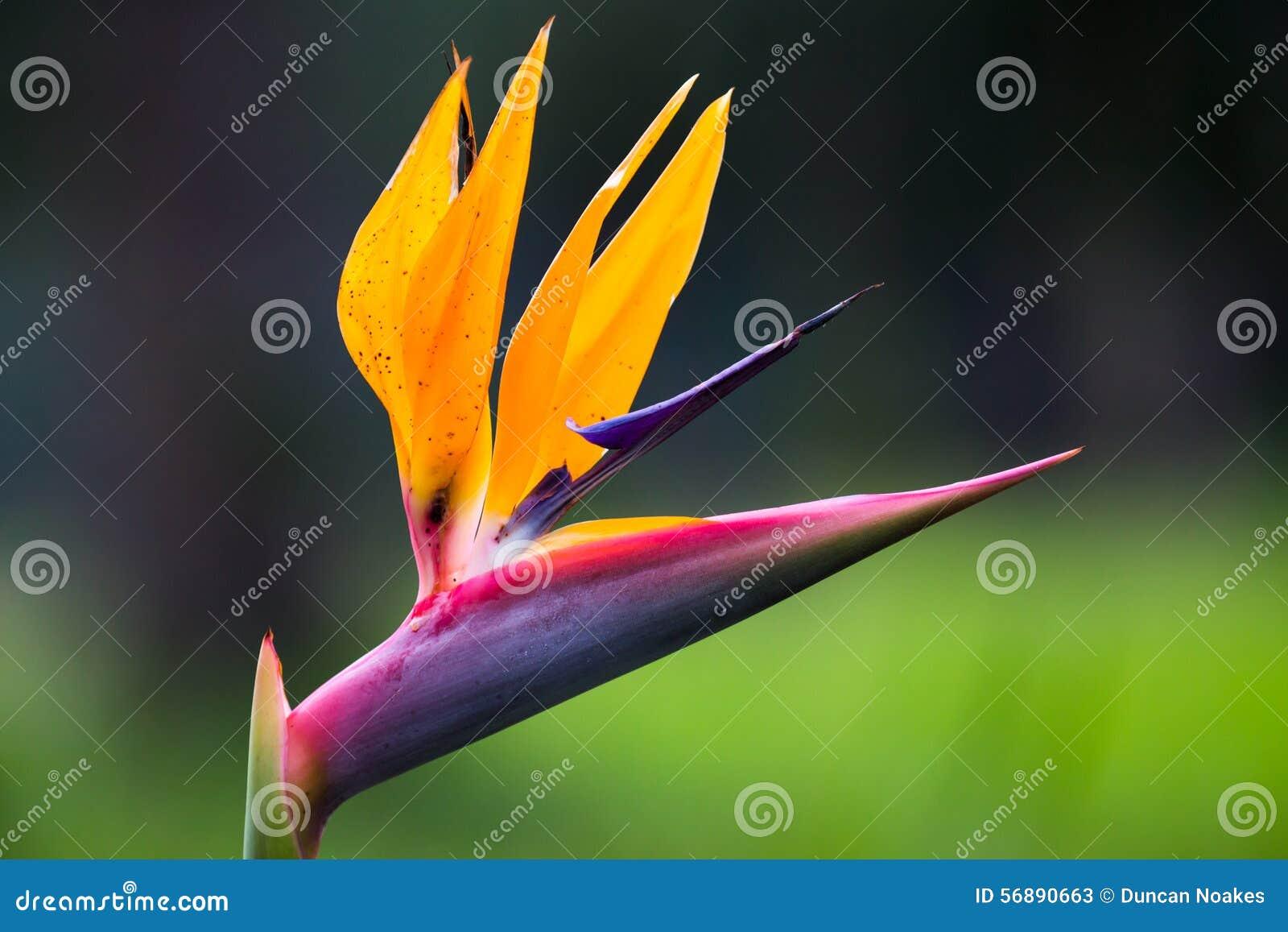 Fiore di strelizia