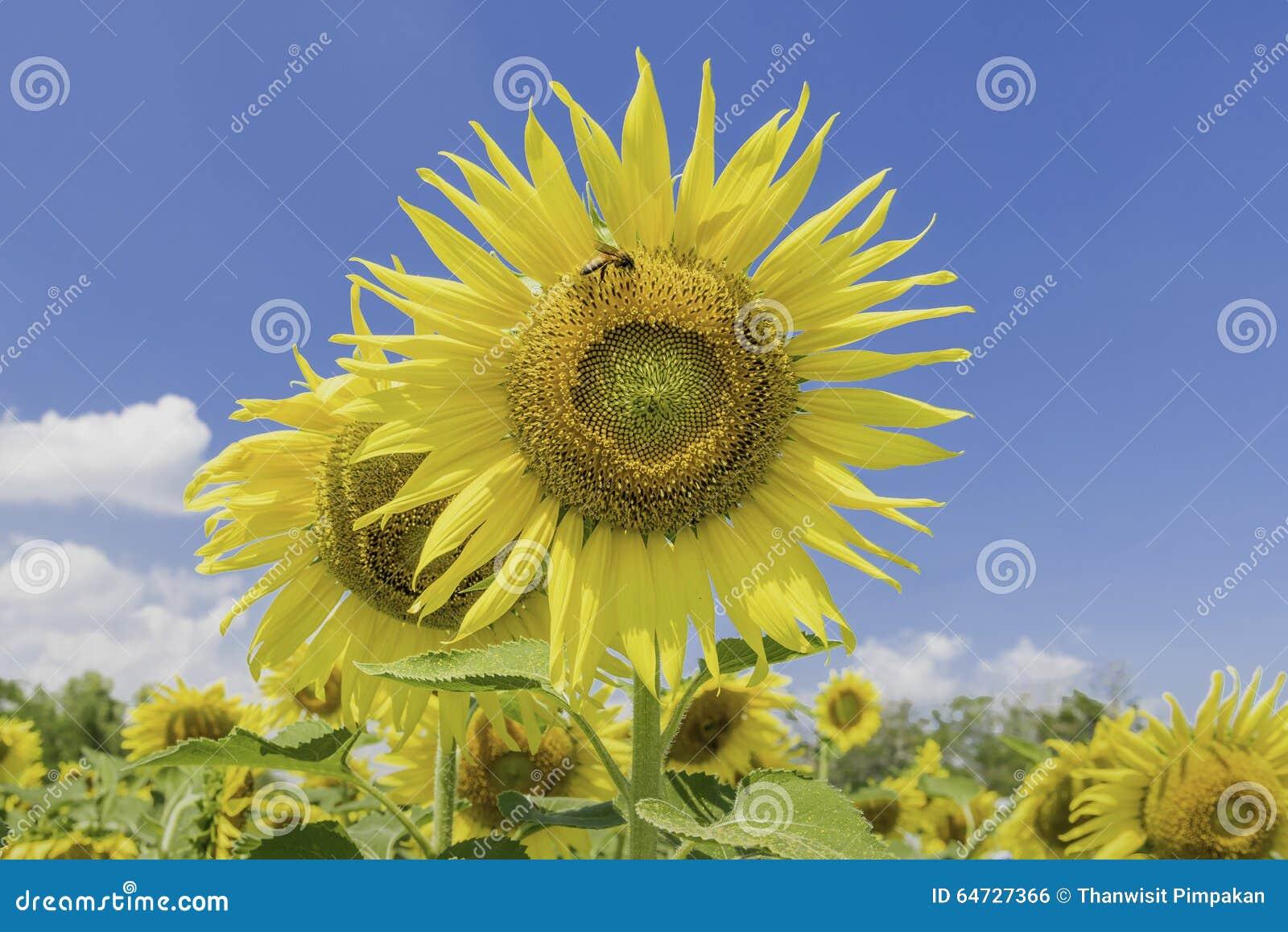 Fiore di Sun