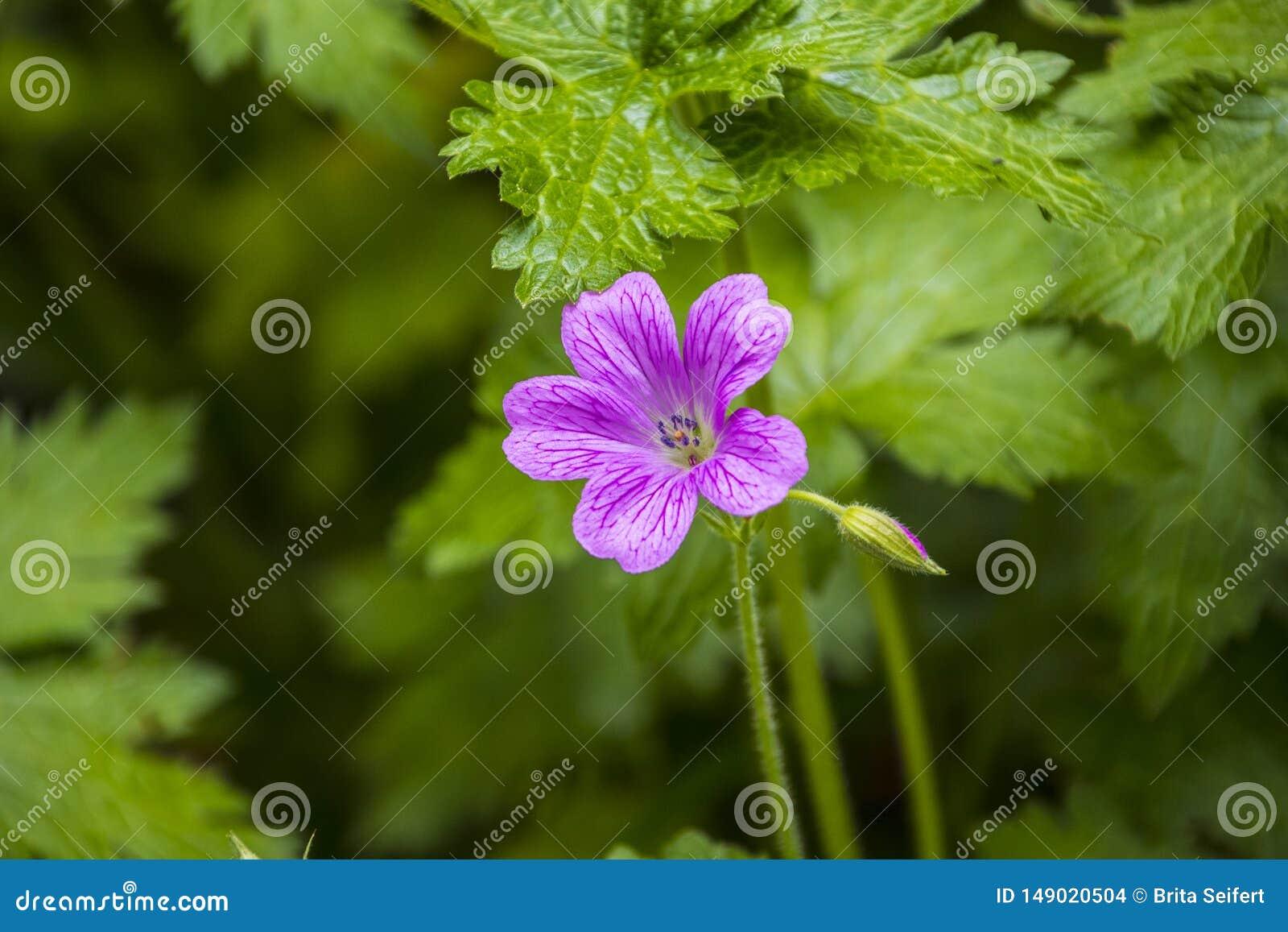 Fiore di un geranio annodato della fattura del ` s della gru nodoso