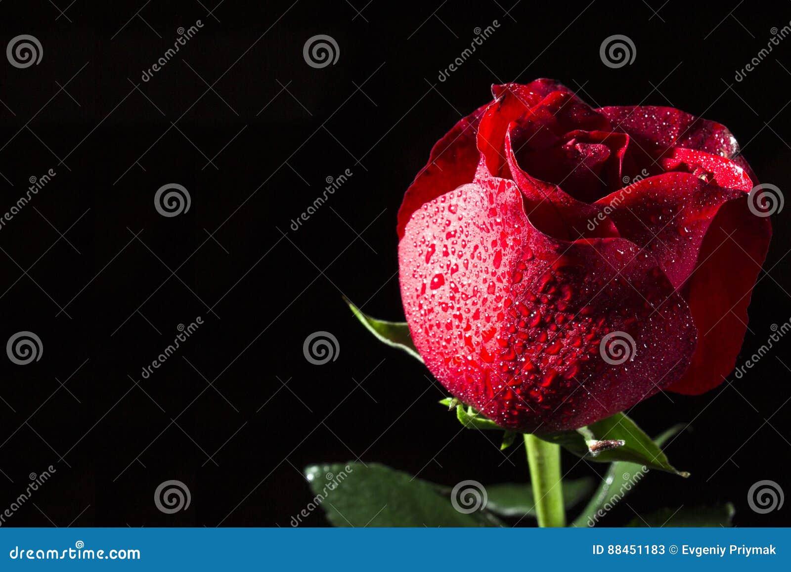 Fiore Di Una Rosa Rossa Su Un Fondo Nero Immagine Stock Immagine