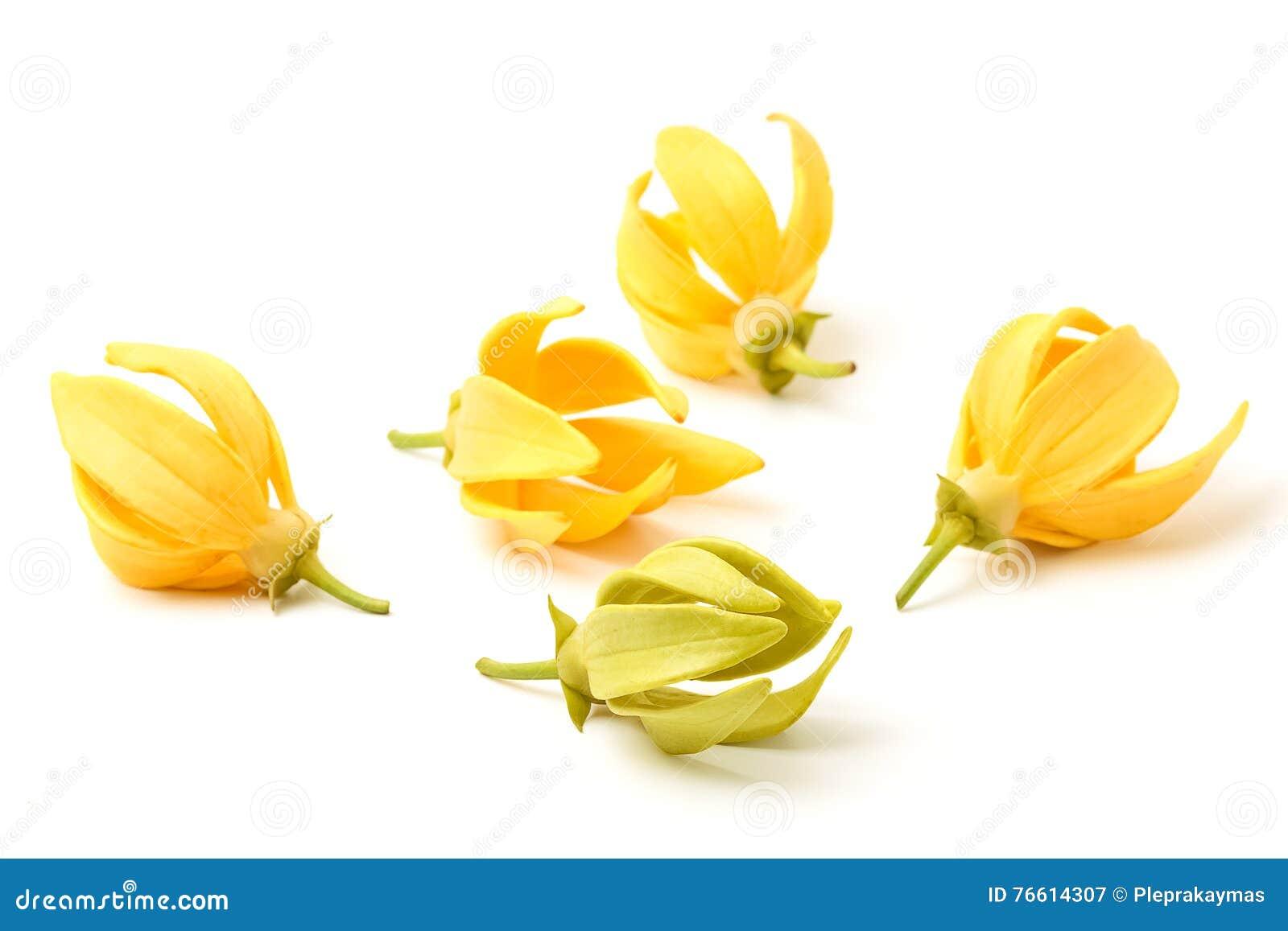 Fiori Ylang Ylang.Fiore Di Ylang Ylang Fiore Fragrante Giallo Immagine Stock