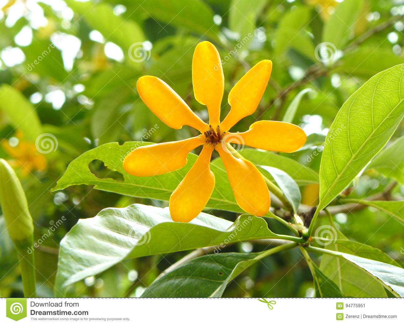Fiori Gialli Gardenia.Fiore Dorato Di Gardenia Immagine Stock Immagine Di Fogliame