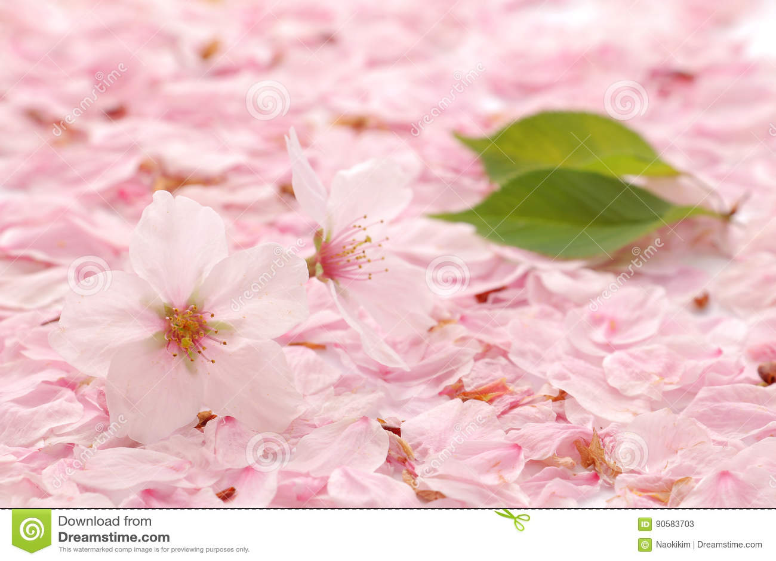 Fiore e petali di ciliegia giapponesi