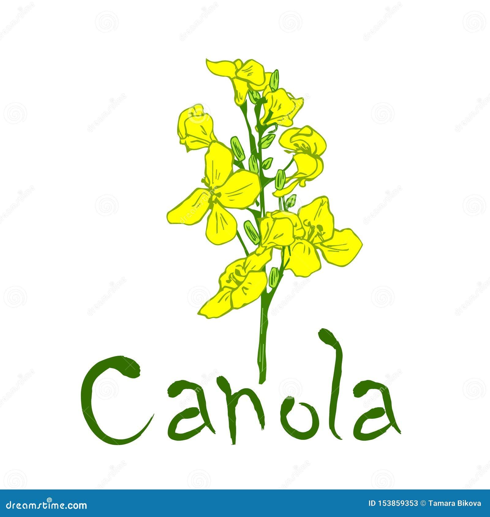Fiore ed iscrizione della pianta del Canola