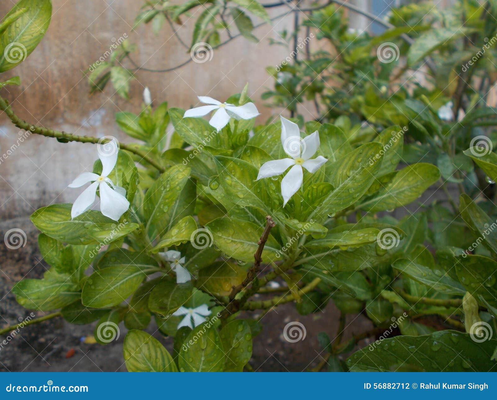 Fiore/erba di Sadabahar