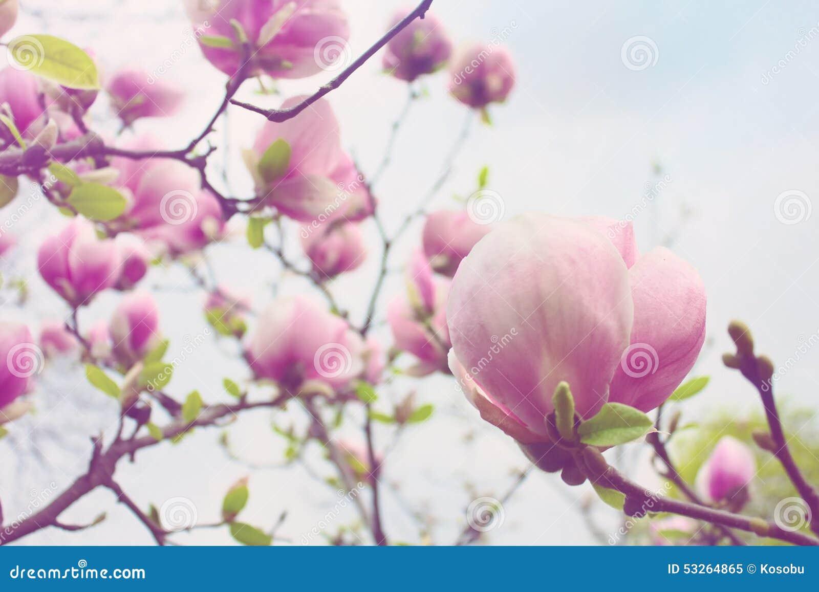 Fiore fiorito dell 39 albero della magnolia in primavera for Magnolia pianta prezzi