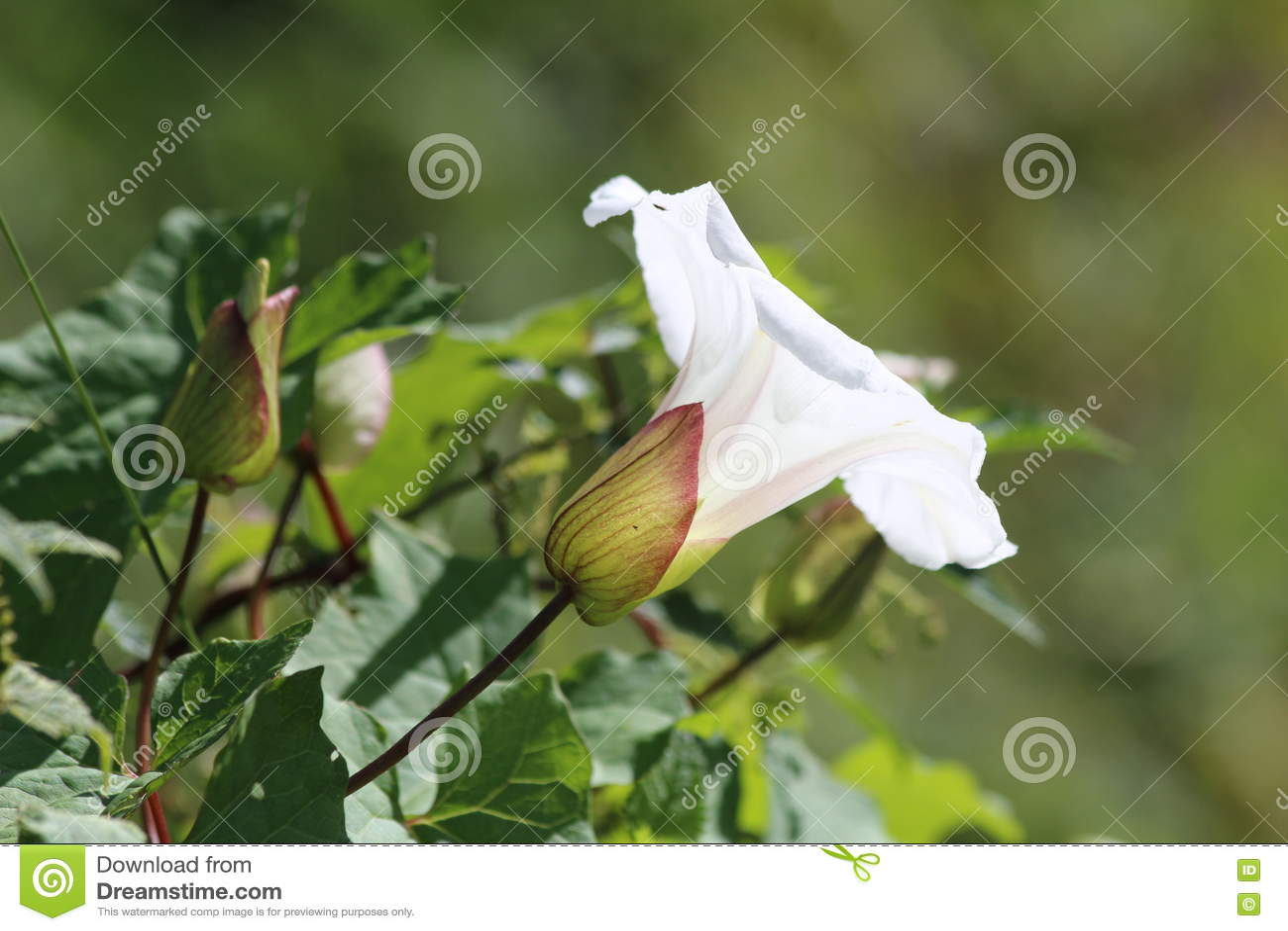 Fiore a forma di della tromba comune del convolvolo
