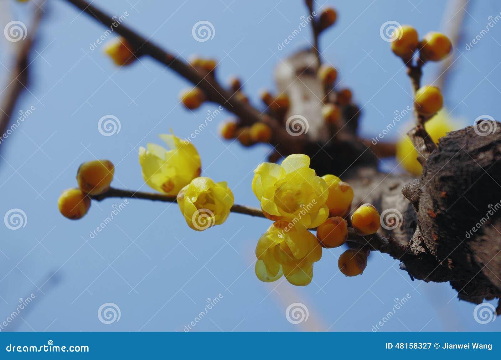 Fiore giallo del Chimonanthus in cielo blu