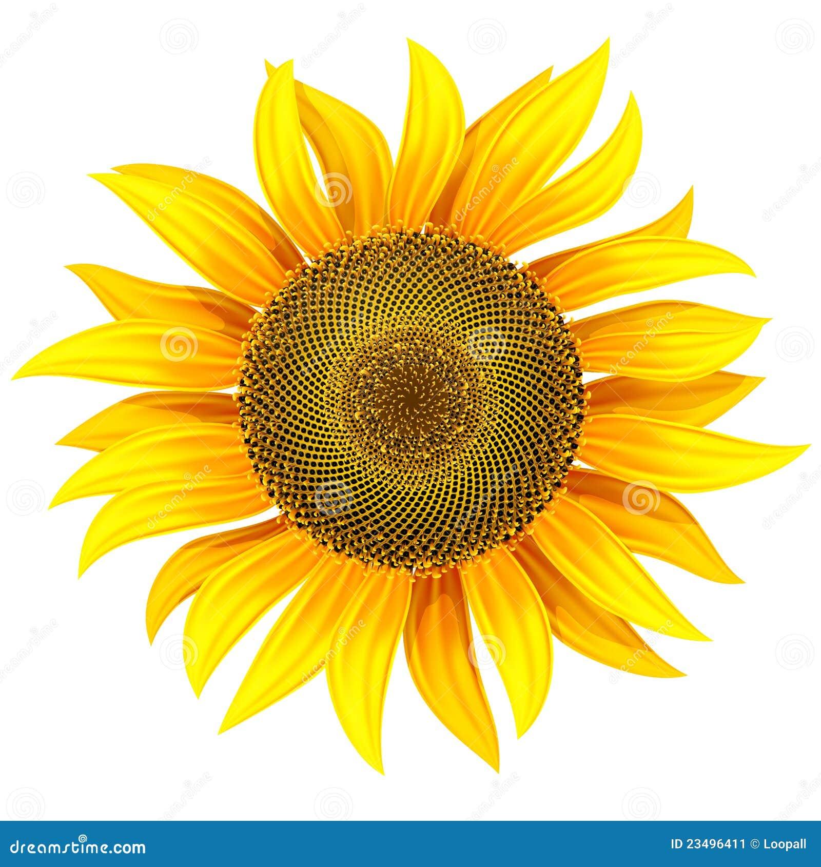 Fiore giallo del girasole