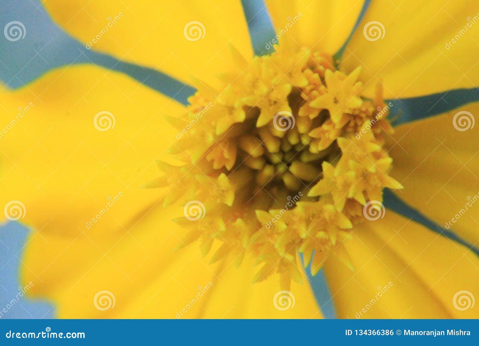 Fiori Gialli Stagionali.Fiore Giallo Del Macro Colpo Per Fondo Fotografia Stock Immagine