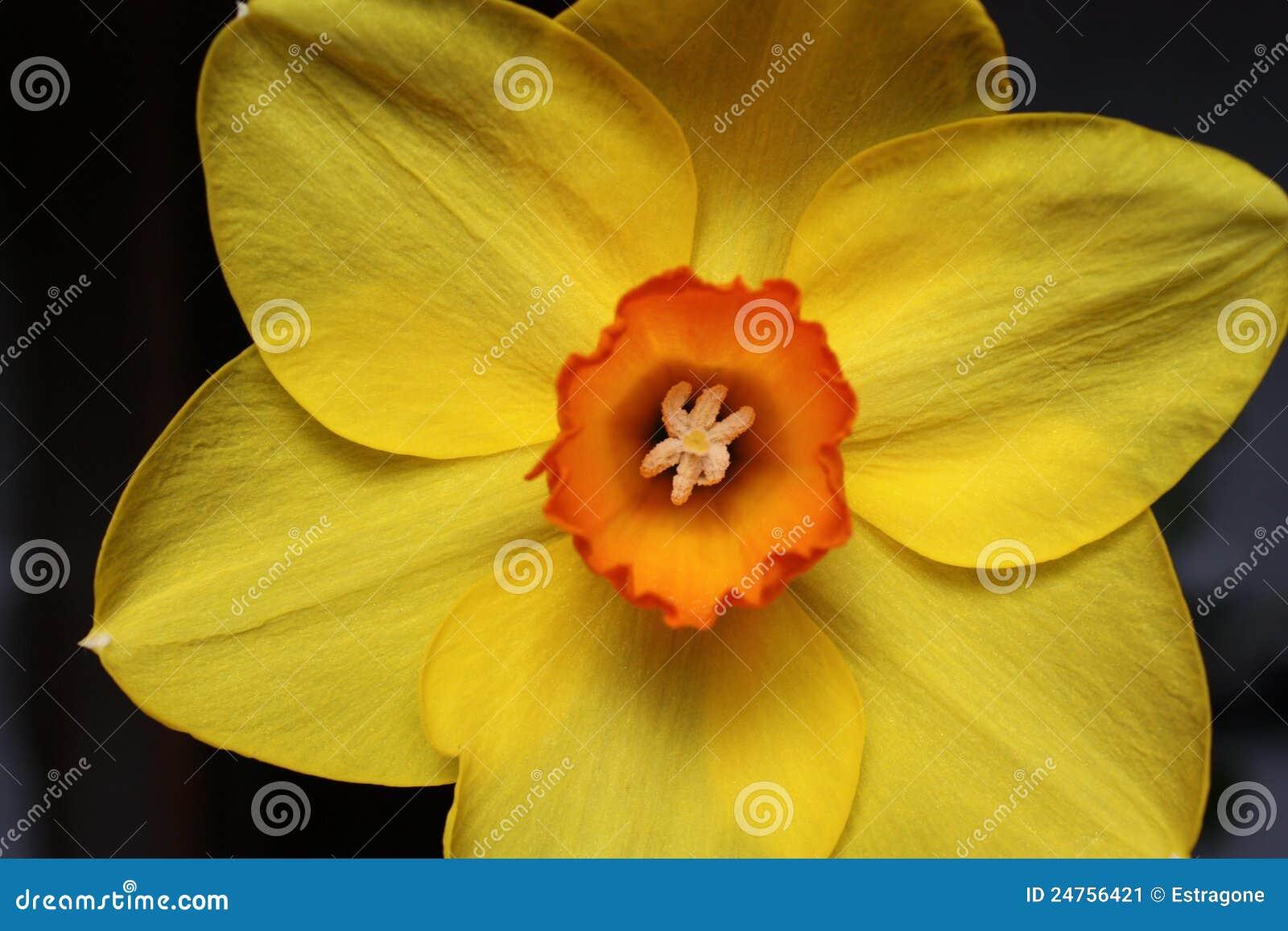 Fiore giallo del narciso immagine stock immagine di for Narciso giallo