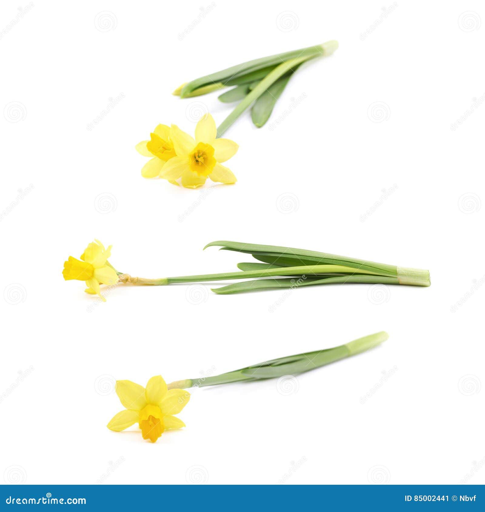 Fiore giallo del narciso isolato immagine stock immagine for Narciso giallo
