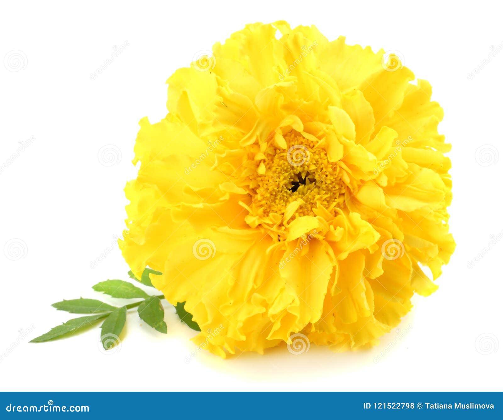 Fiore giallo del tagete, erecta di tagetes, tagete messicano, tagete azteco, tagete africano isolato su fondo bianco