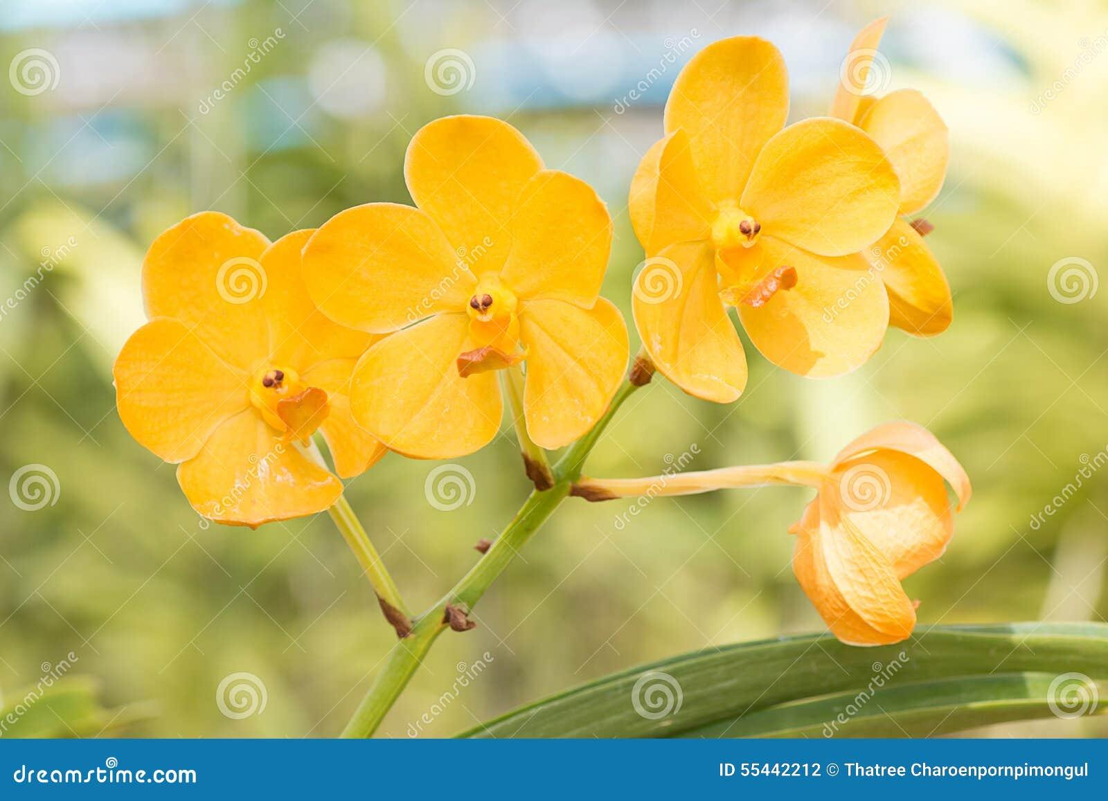 Fiore giallo dell 39 orchidea di vanda nella scuola materna for Orchidea pianta