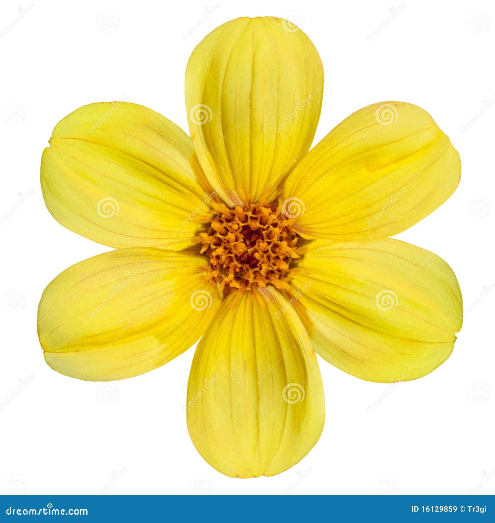 Fiore Giallo 6 Petali.Fiore Giallo Della Dalia Isolato Su Priorita Bassa Bianca Immagine