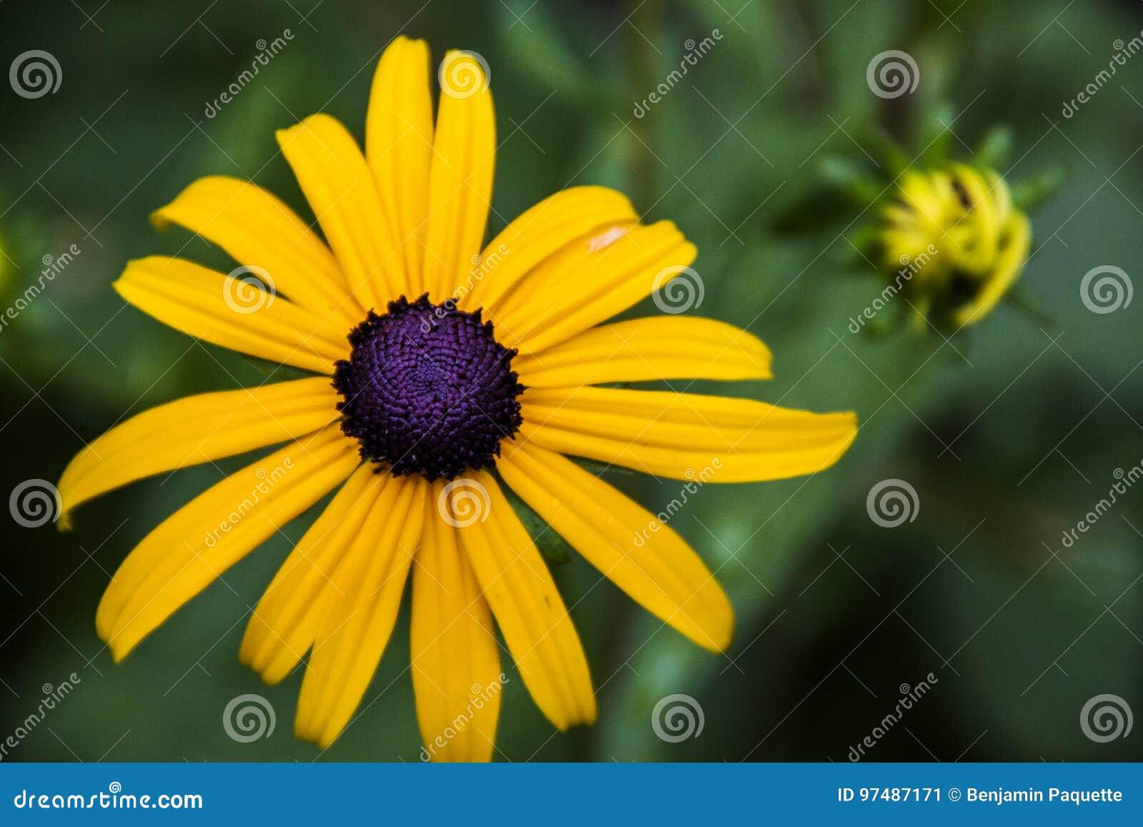 Fiore giallo di margherita gialla