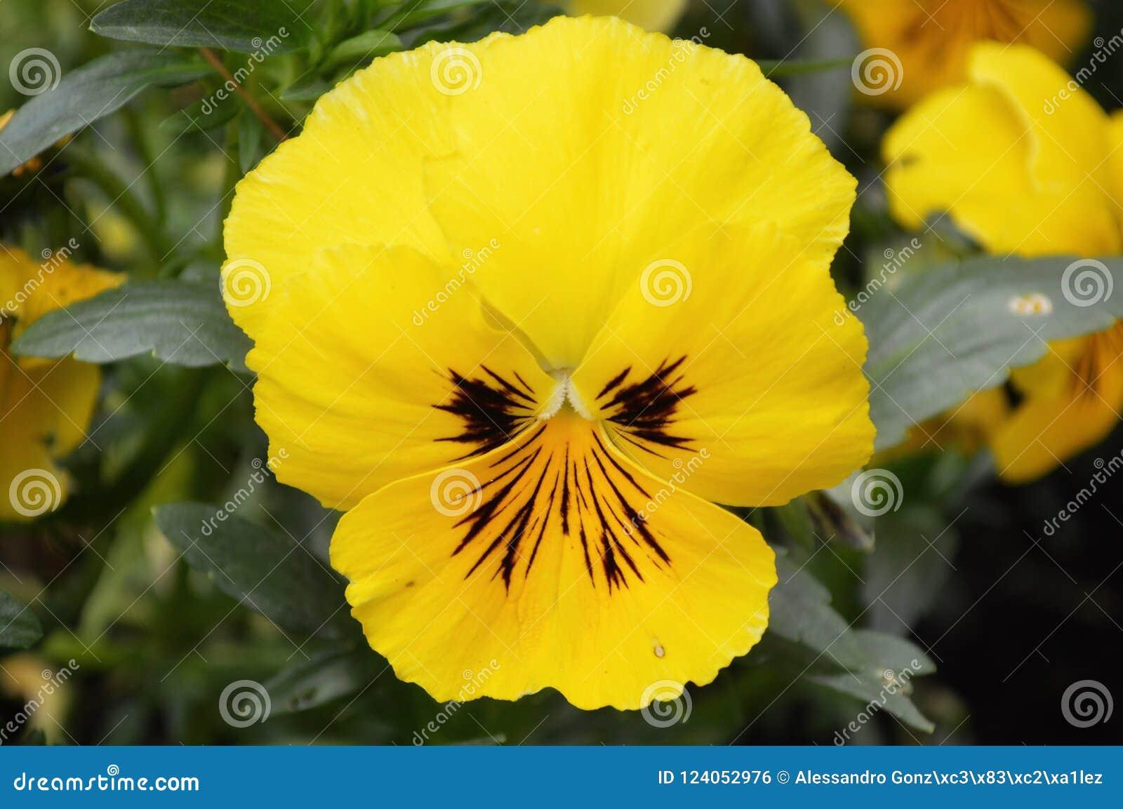 Fiori Gialli 8 Petali.Fiore Giallo Isolato Della Panse Fotografia Stock Immagine Di