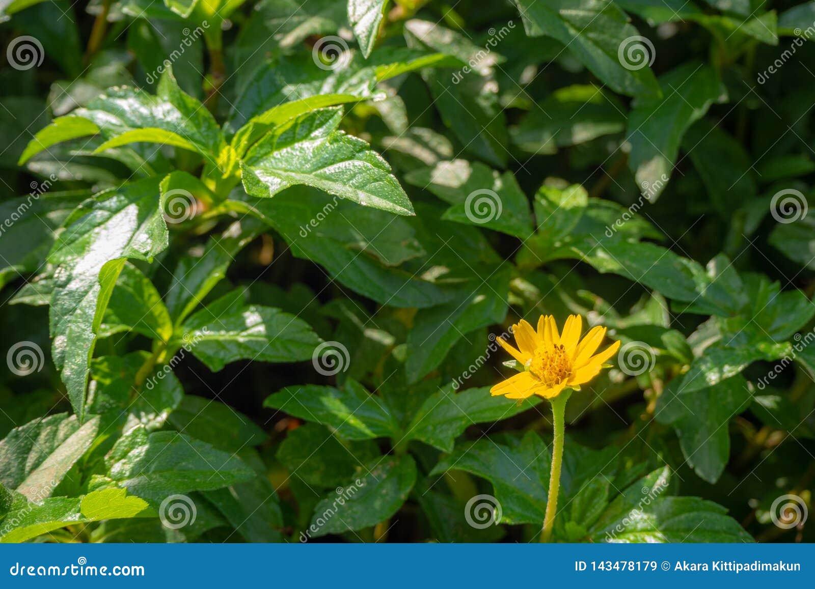 Fiore giallo sveglio sul fondo verde della foglia in parco