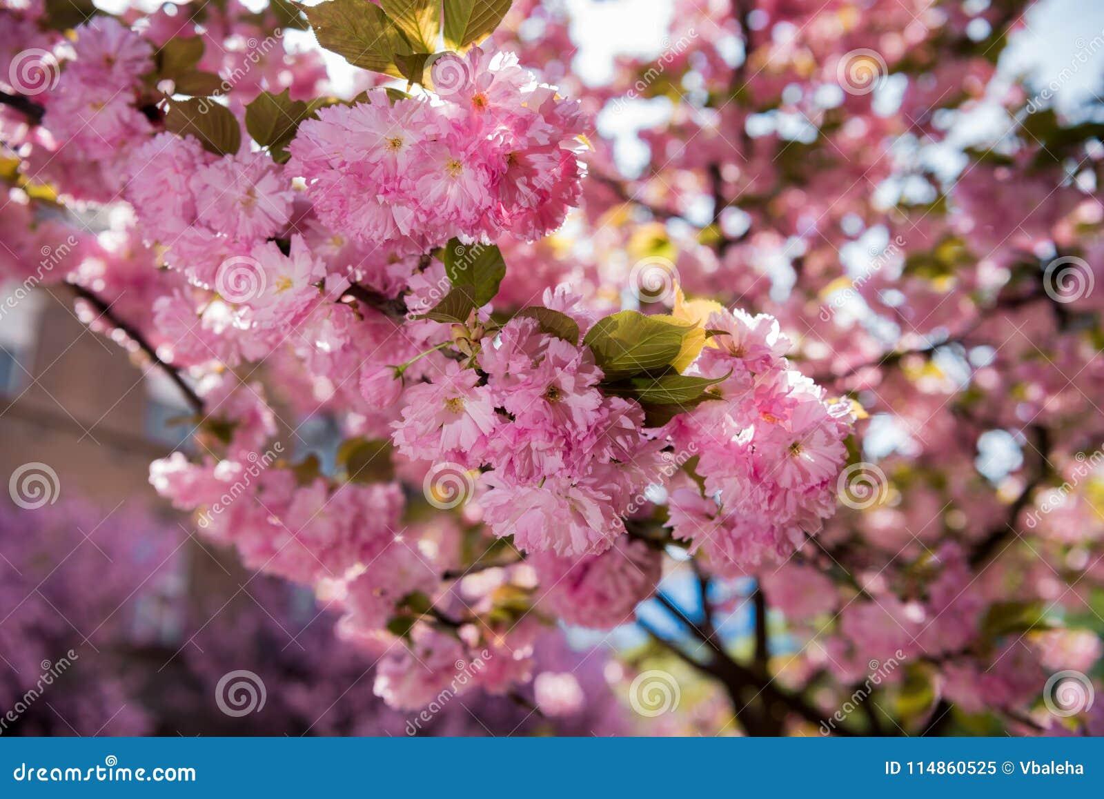 Ciliegio Fiori Bianchi O Rosa.Fiore Giapponese Rosa Del Ciliegio Sakura Immagine Stock