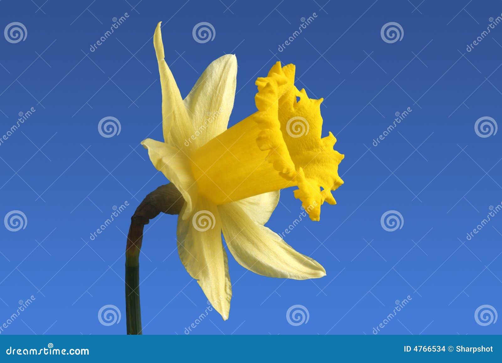 Fiori In Inglese.Fiore Inglese Del Daffodil Fotografia Stock Immagine Di Petali