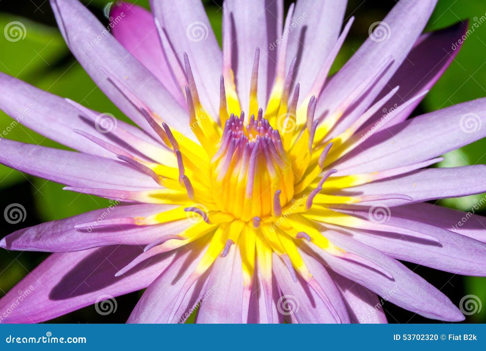 Carta Da Parati Fiori Di Loto : Fiore o ninfea di lotus vicina su per la carta da parati