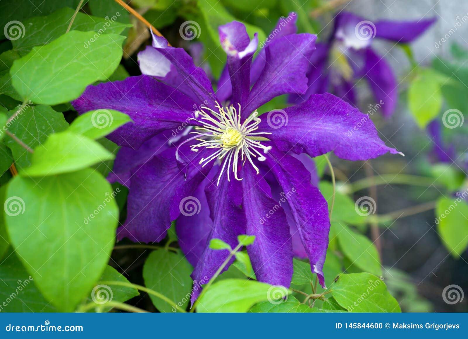 Fiore porpora della clematide - ranunculaceae in giardino