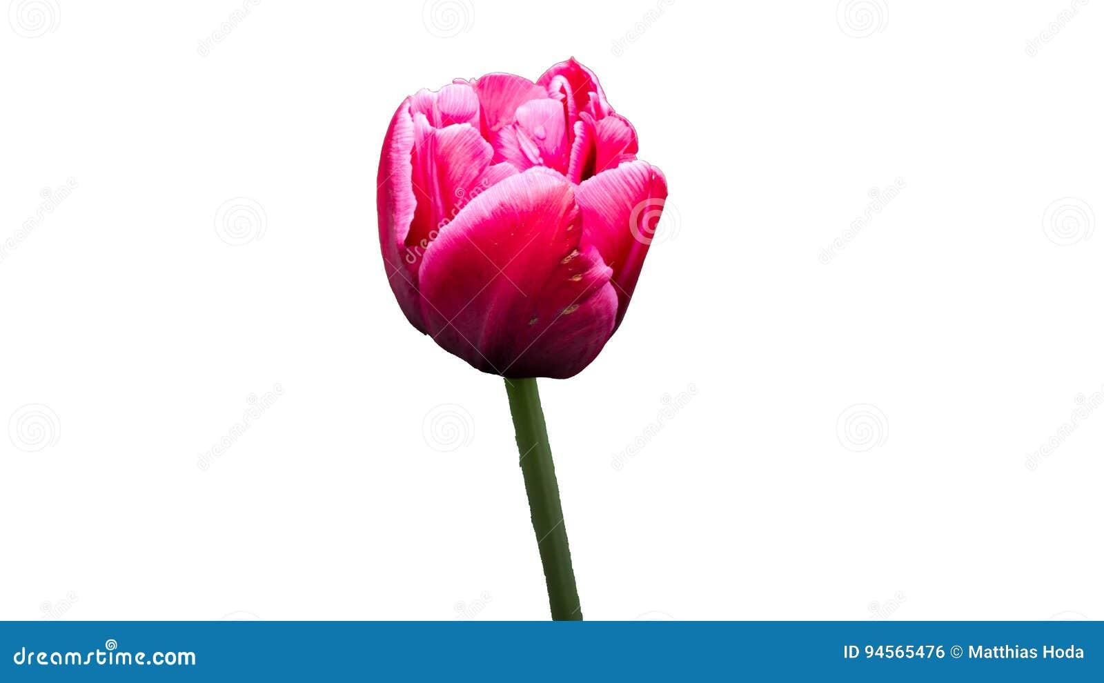 Fiore porpora rosso separato su fondo bianco