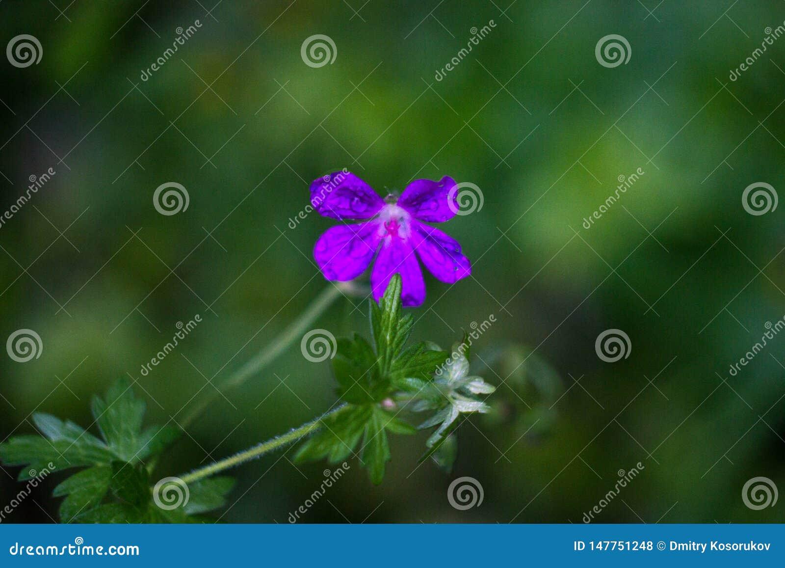 Fiore porpora su un gambo nella macro