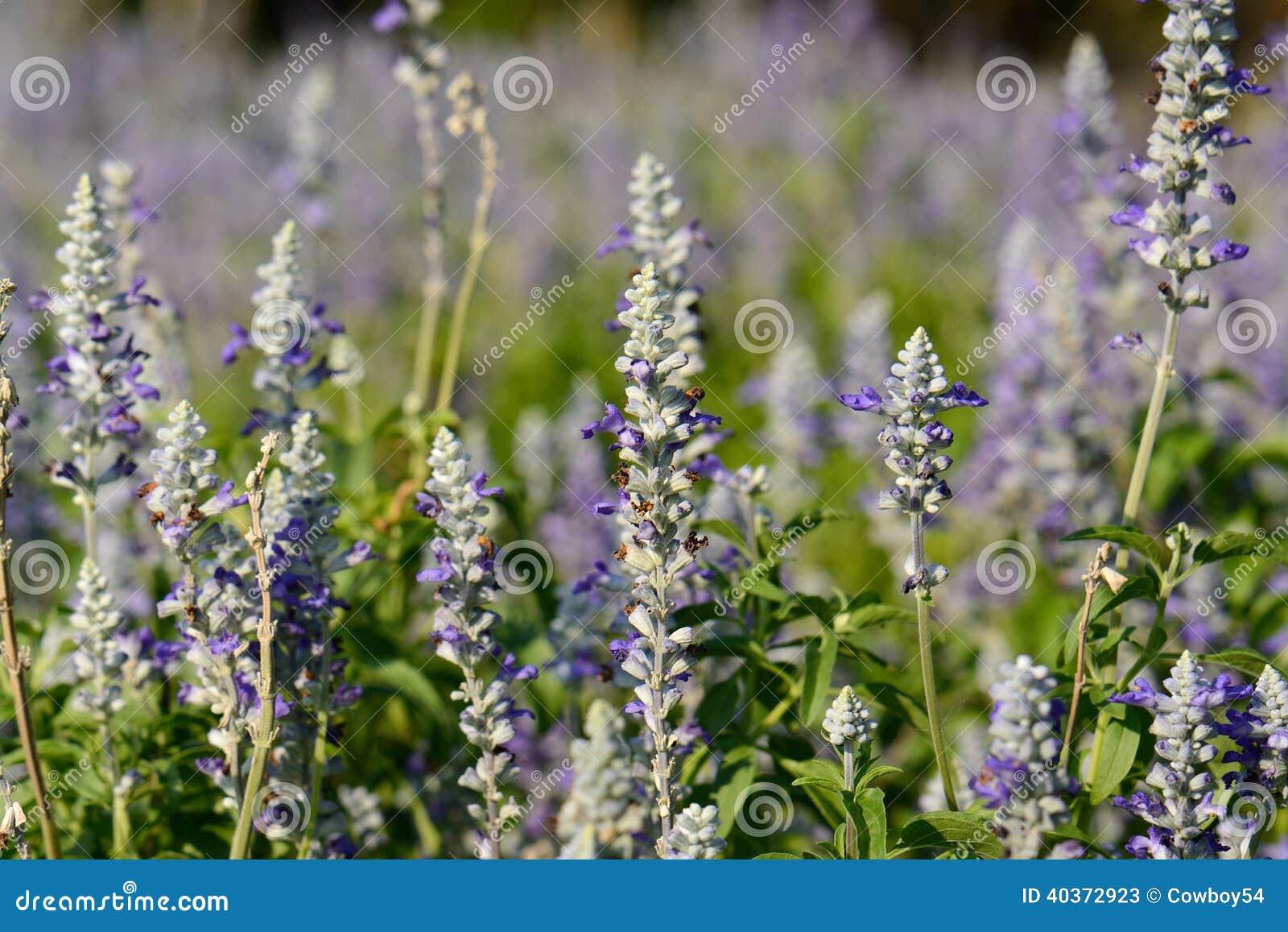 Fiore prudente del cappuccio farinoso (farinacea di Salvia)