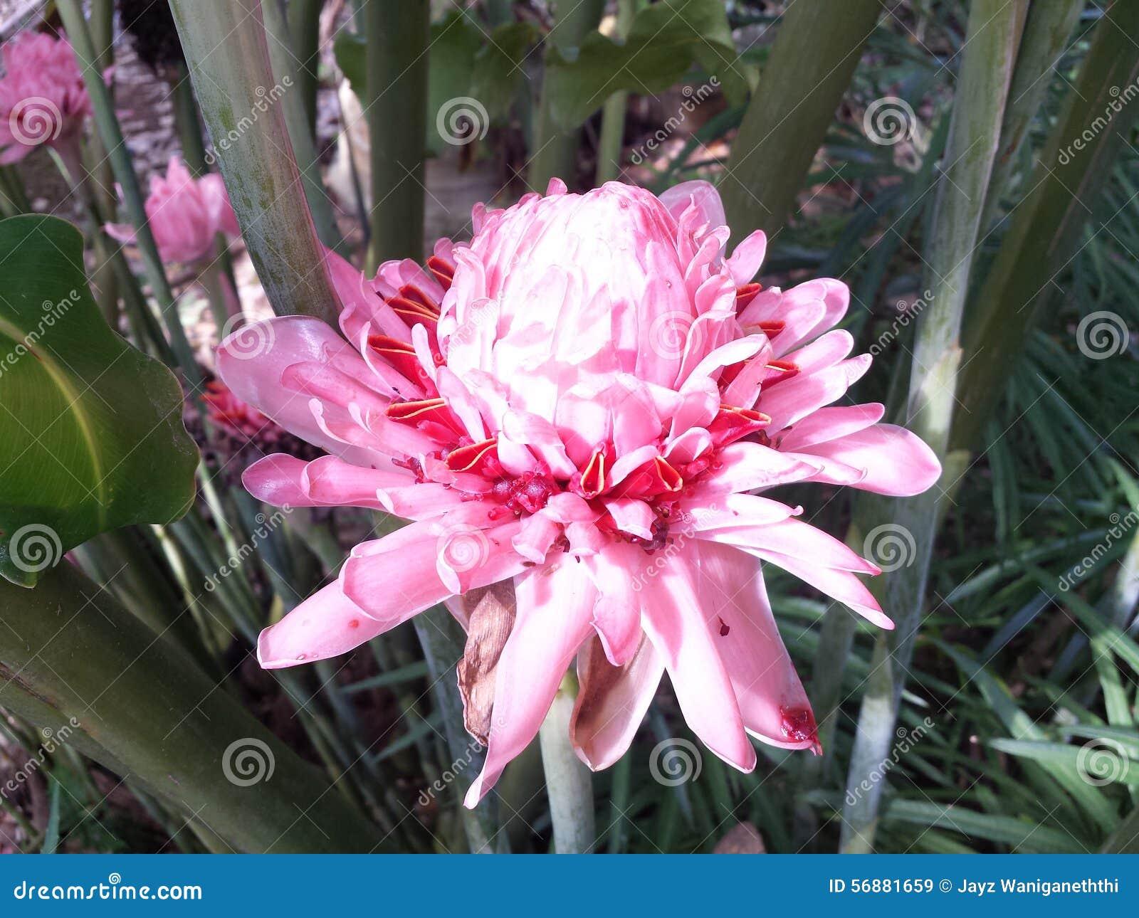 Fiore raro dello Sri Lanka del fuoco di rosa del fiore