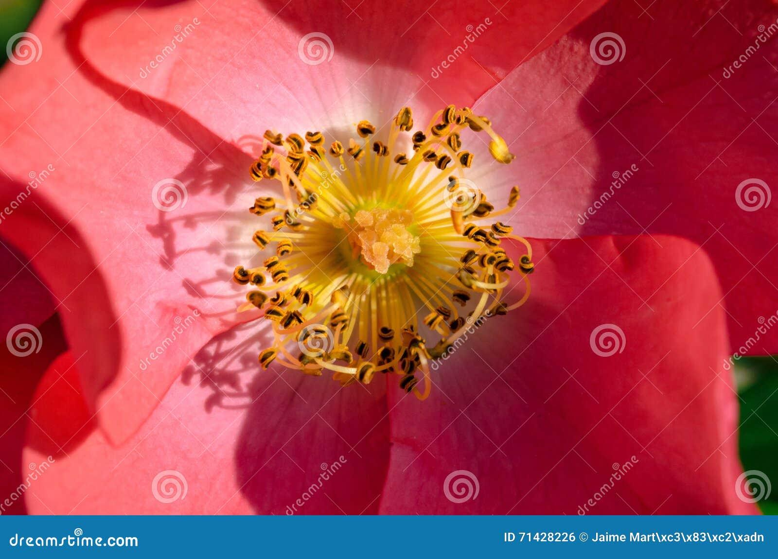 Fiori Gialli Con Pistilli Rossi.Fiore Rosa Con I Pistilli Gialli In Un Giardino Fotografia Stock