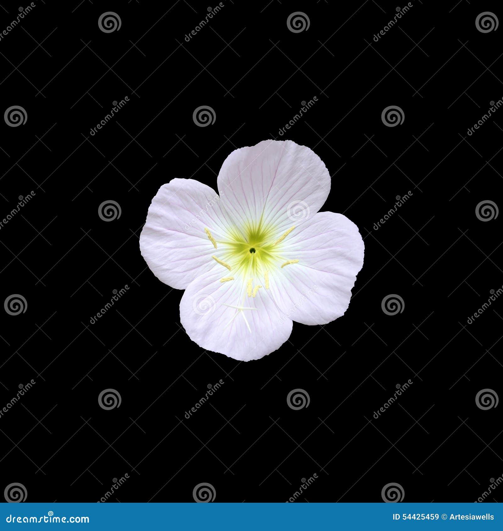Fiori Gialli Con Quattro Petali.Fiore Rosa Con Quattro Petali Immagine Stock Immagine Di Petali