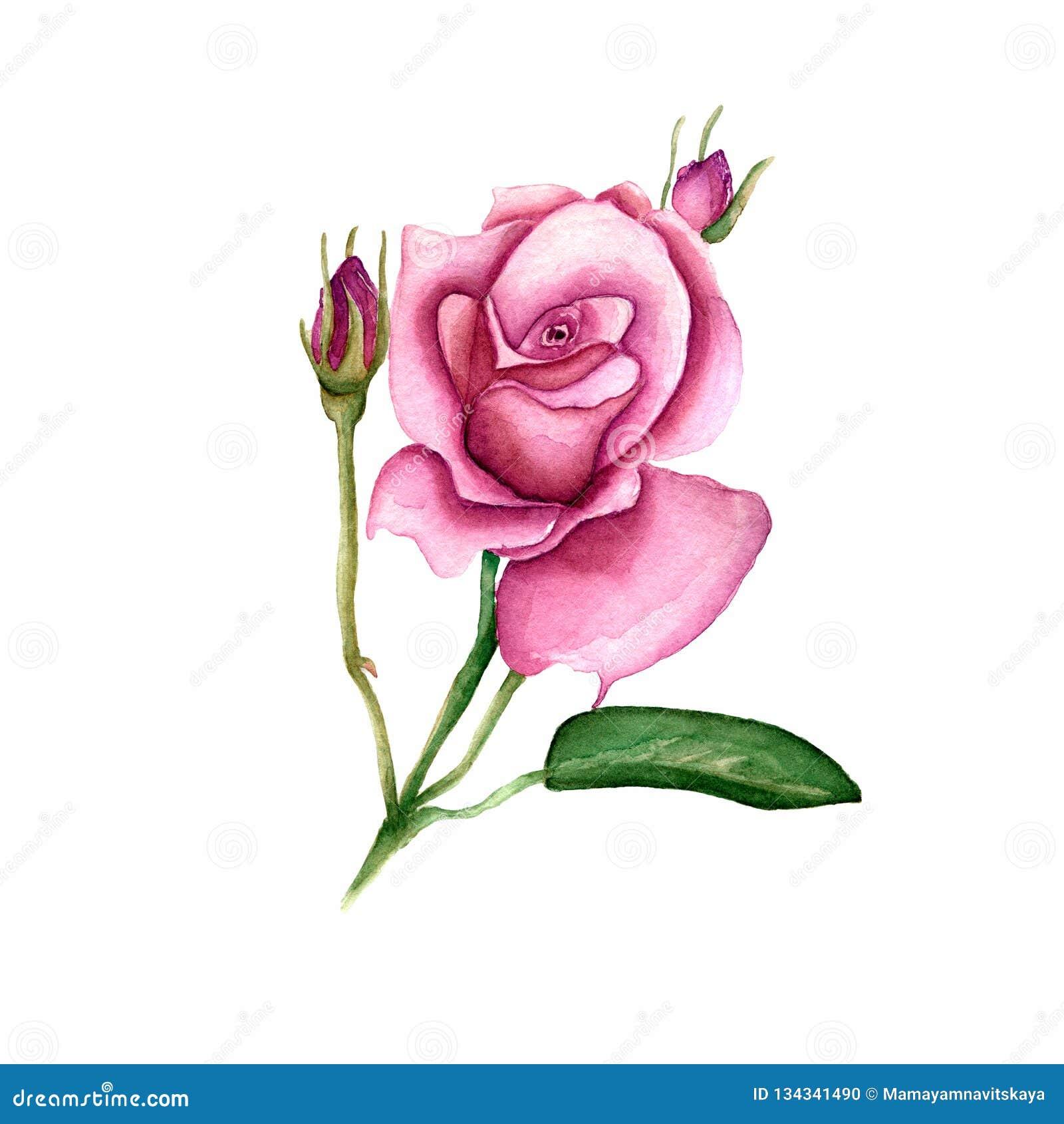Fiore rosa del Wildflower in uno stile dell acquerello isolato Nome completo della pianta: è aumentato, il hulthemia, rosa per fo