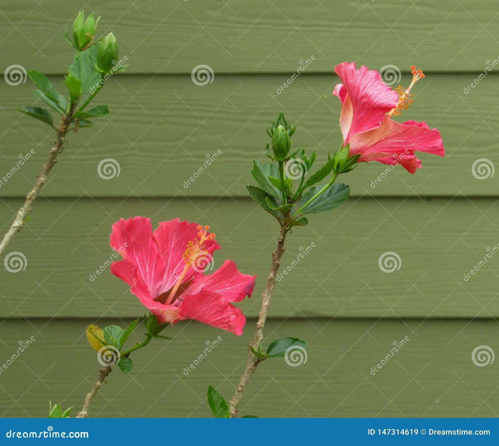 Fiore rosa dell ibisco nella primavera